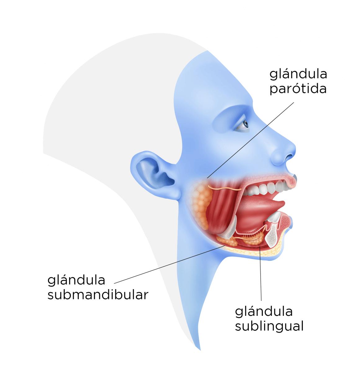 glandulas salivales mayores funcion